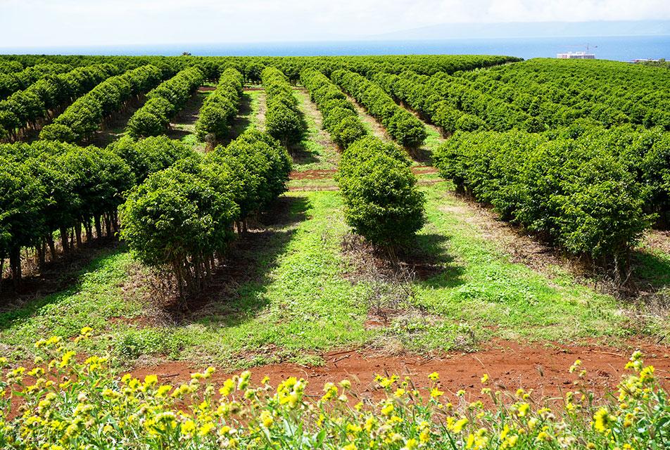 コーヒー農園探訪(ハワイ編)