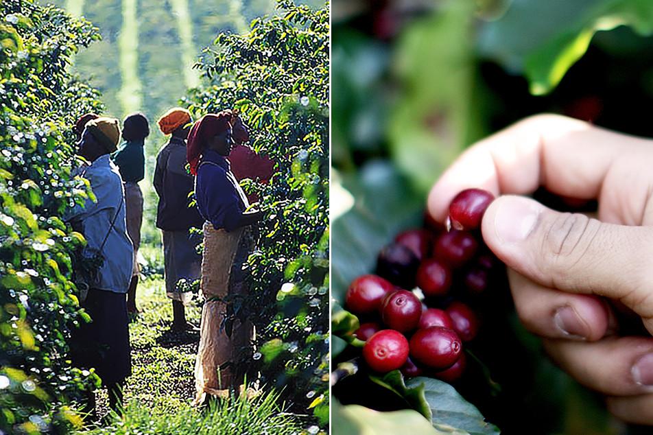 「コーヒー農園を運営するなかで、一番苦労する点は何ですか?」