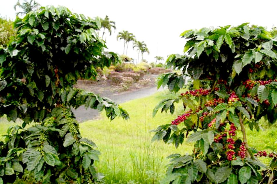 旅の中のコーヒー ハワイ島編