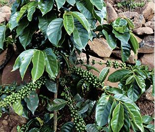 グァテマラ ラ・コリーナ農園